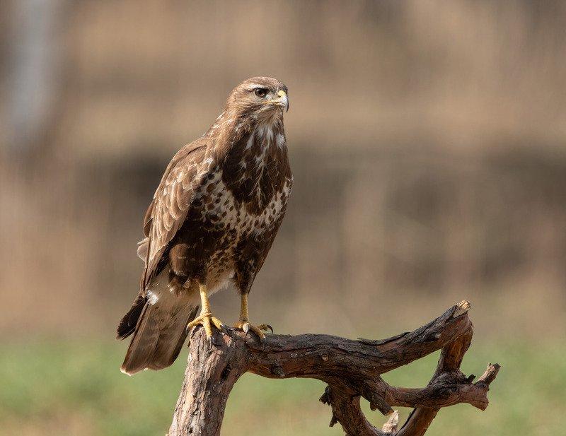 канюк, птицы, хищник, Наблюдательphoto preview