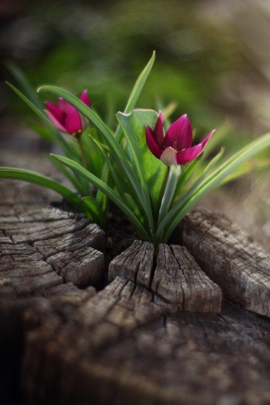 весна апрель тюльпаны Апрельскоеphoto preview