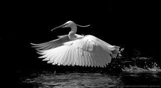 Little Egret in B/W