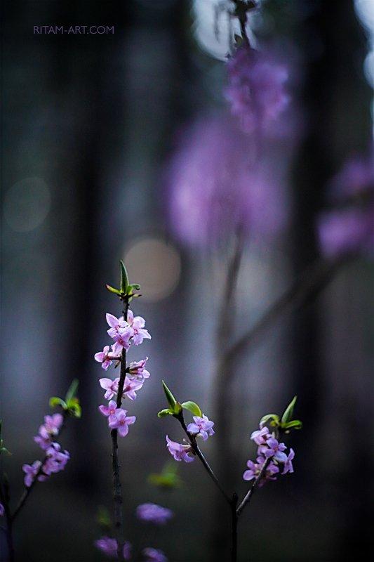 весна, spring, цветы, цветок, flowers, flower, blossom, bloom, розовый, pink, боке, bokeh, макро, macro, closeup, sakura, волчеягодник, японский, мотив, темный фон, japanese, tune, dark, background Северная сакура - японский мотив / The Northern Sakura - A Japanese Tunephoto preview