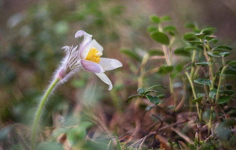 весна, сон-трава, цветы, первоцветы, лес Сон-трава.photo preview