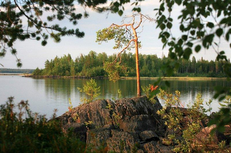 карелия, река, камни, озеро, сосна Сосна на берегу озера Вороньегоphoto preview
