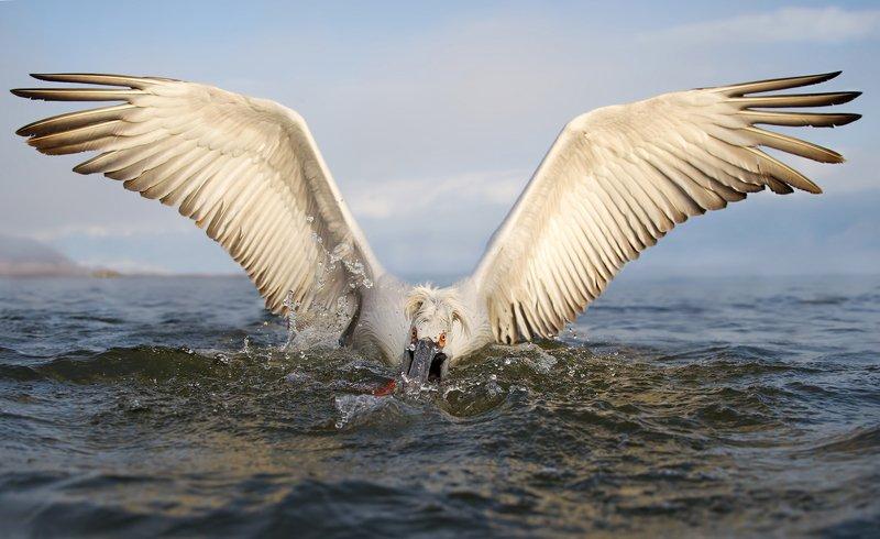 dalmatian pelican, pelecanus crispus, кудрявый пеликан захватphoto preview