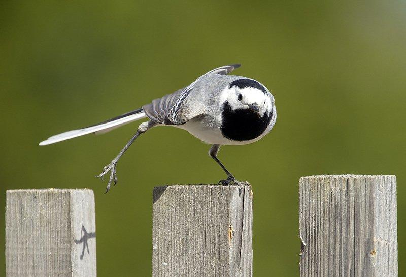 трясогузка, птицы Зарядку делай по утрамphoto preview