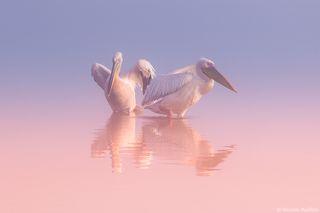 Два Пеликана ...