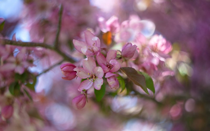 цветы,весна,сакура,розовая,макро,природа,растения,вишня,гелиос 44-2 2/ 58 мм Сакура цветётphoto preview