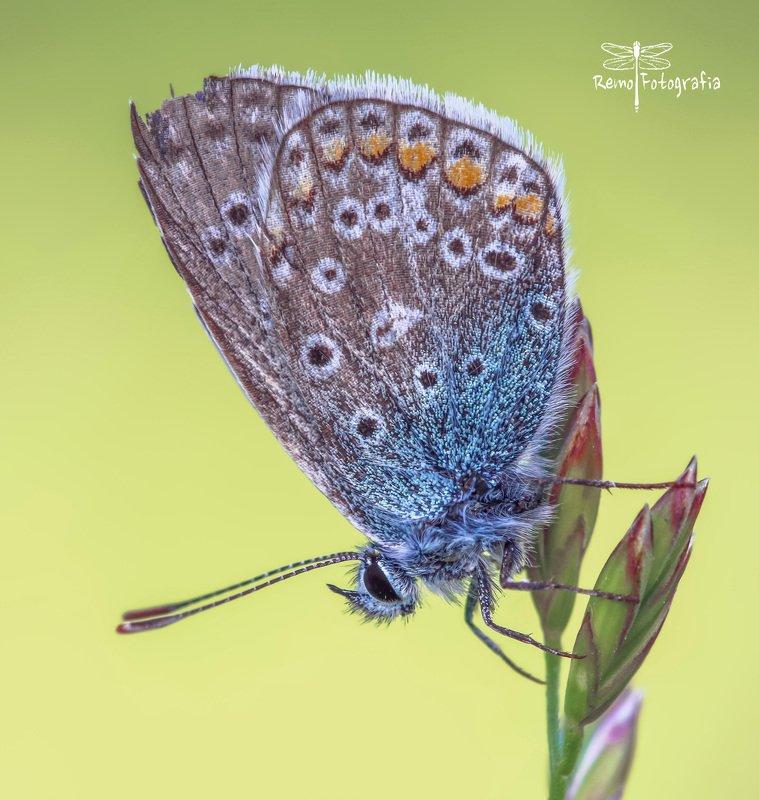 Polyommatus icarus- Modraszek ikar.photo preview