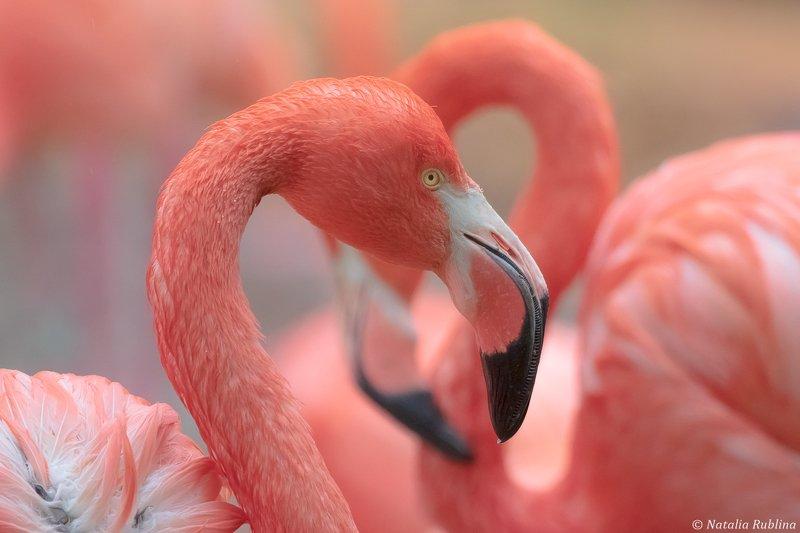животные,птицы,фламинго,птица,после дождя,портрет,задумчивый,настроение Фламинго после дождя...photo preview