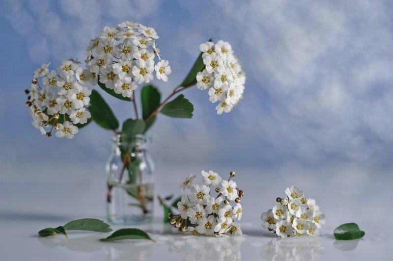спирея, весна во флаконе, невеста, цветки невесты, листики спиреи, гелиос 44 Про апрельскую невесту продолжение...photo preview