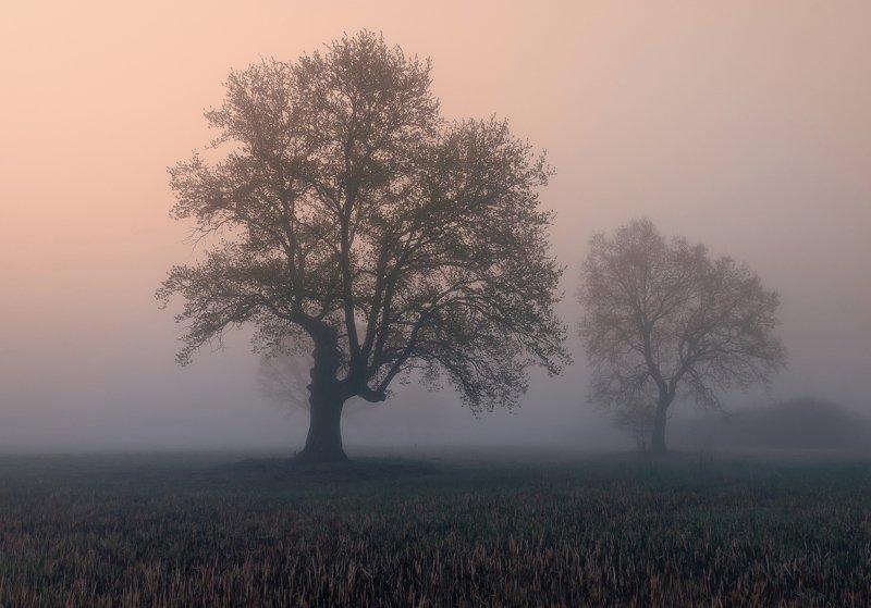 рассвет, туман, дуб, весна Старый дубphoto preview