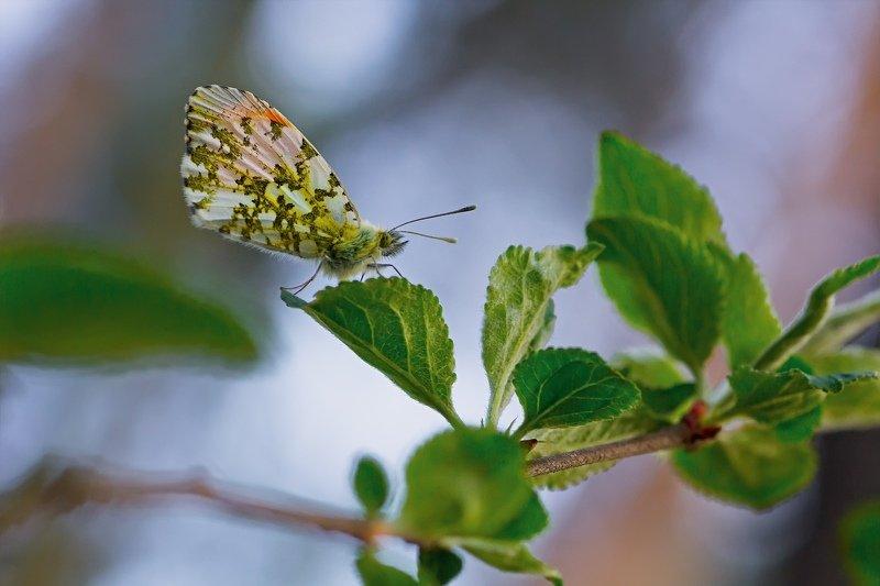 бабочка,лист,трава,солнце,крылья,свет,блик,цветок ***photo preview