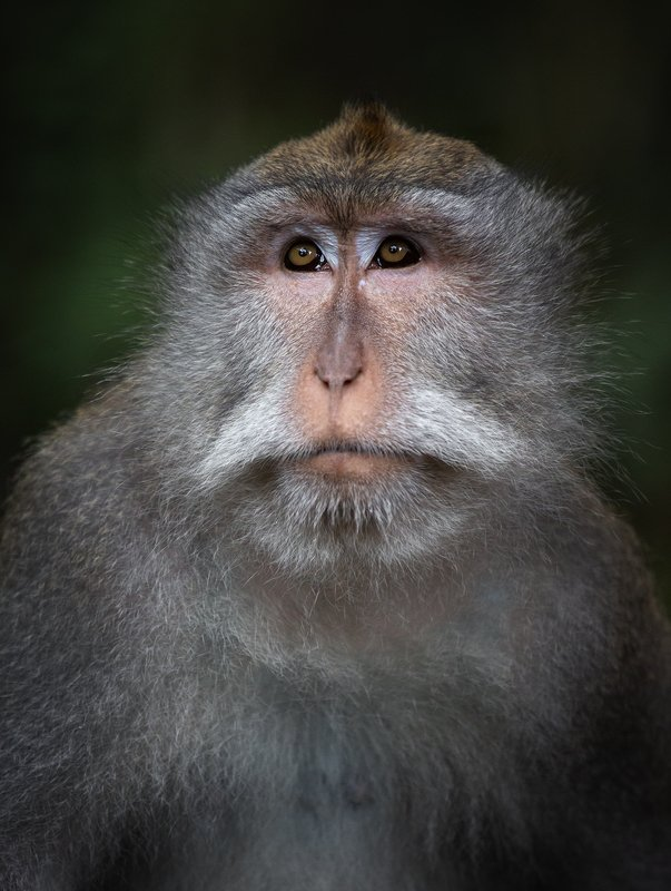 обезьяна , бали , индонезия , убуд , лес обезьян , портрет , bali , monkey , forest , indonesia Балийский красавчикphoto preview
