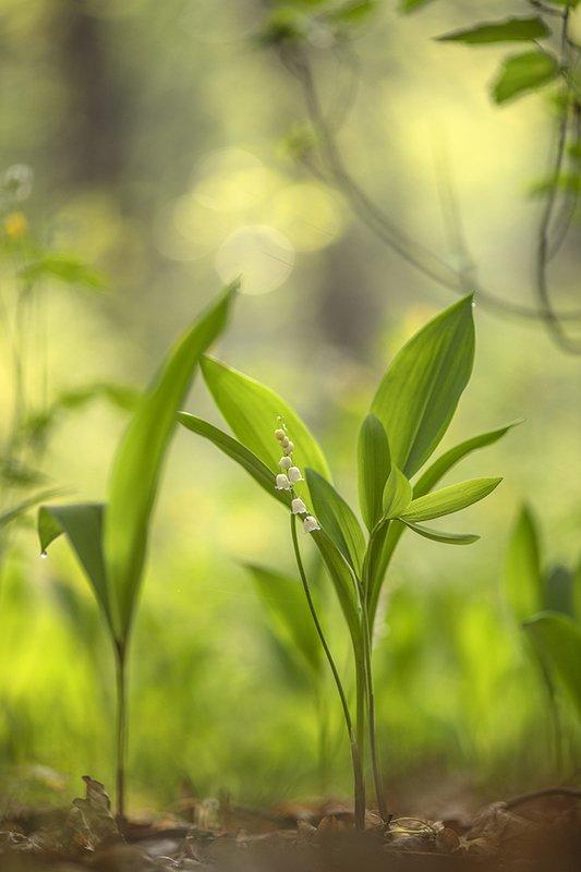 ландыши, цветы, утро, свет, позитив, май, весна. 9 мая, победа, воронеж, геннадий мещеряков Легендарным утром...photo preview