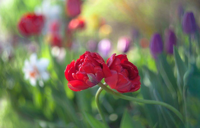 природа,цветы,тюльпаны,весна, Only You...photo preview