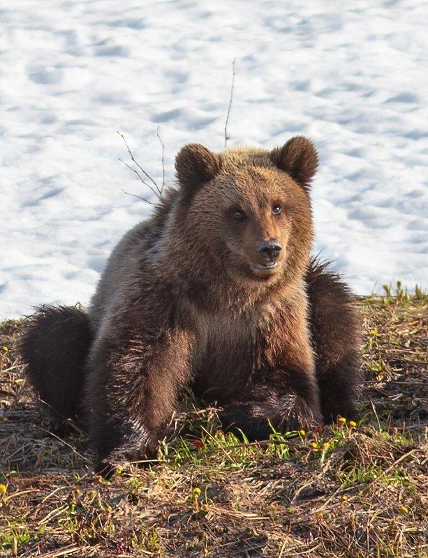 медведи,север,природа,коми,встреча,фото охота,весна,три медведя,печора,животные,хищники,bears, north, nature, komi, meeting, photo hunting, spring, three bears, pechora, animals, predators, Пестунphoto preview