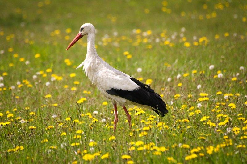 природа, поле, одуванчики, птицы, аист Аистphoto preview