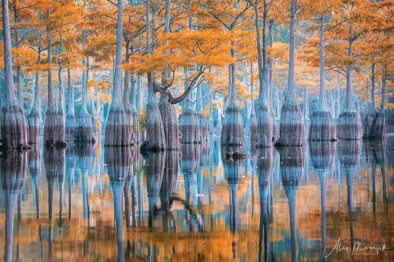 кипарис, болото, озеро, отражение, вода, туман, утро, осень, фото-тур, США Ряды Кипарисовphoto preview