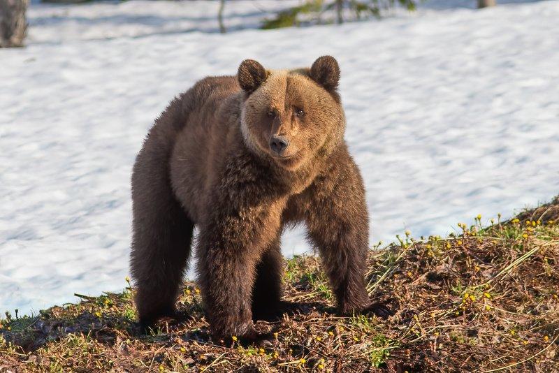 медведи,север,природа,коми,встреча,фото охота,весна,три медведя,печора,животные,хищники,bears, north, nature, komi, meeting, photo hunting, spring, three bears, pechora, animals, predators, Три медведяphoto preview