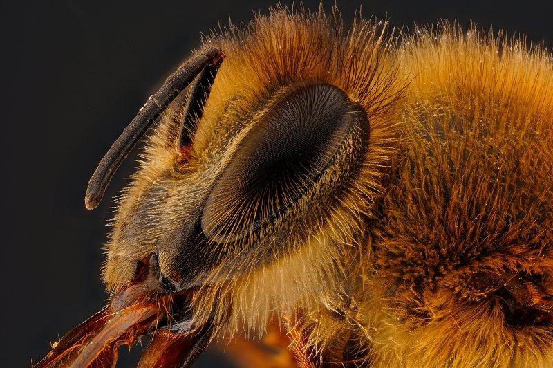 макро, глаз, пчела Глаз пчелы.photo preview