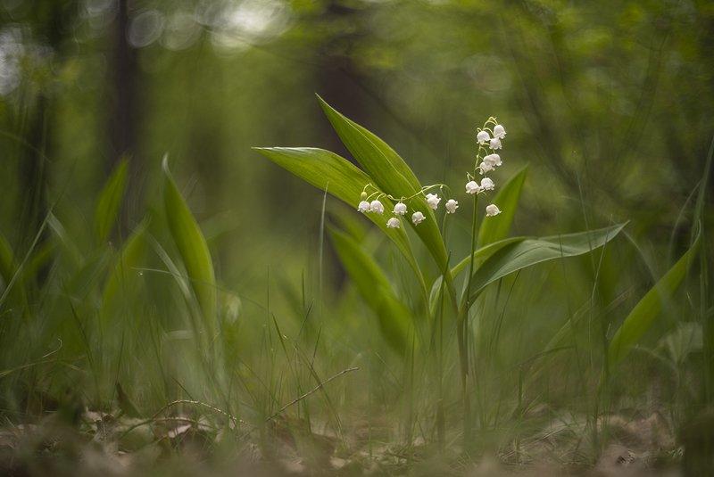 ландыши, цветы, утро, свет, позитив, май, весна, вальс, танцы, воронеж, геннадий мещеряков Вальс...photo preview