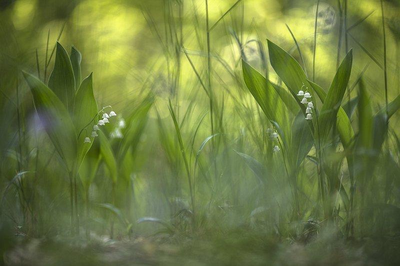 ландыши, цветы, утро, свет, позитив, май, весна, перезвоны,  воронеж, геннадий мещеряков Перезвоны...photo preview