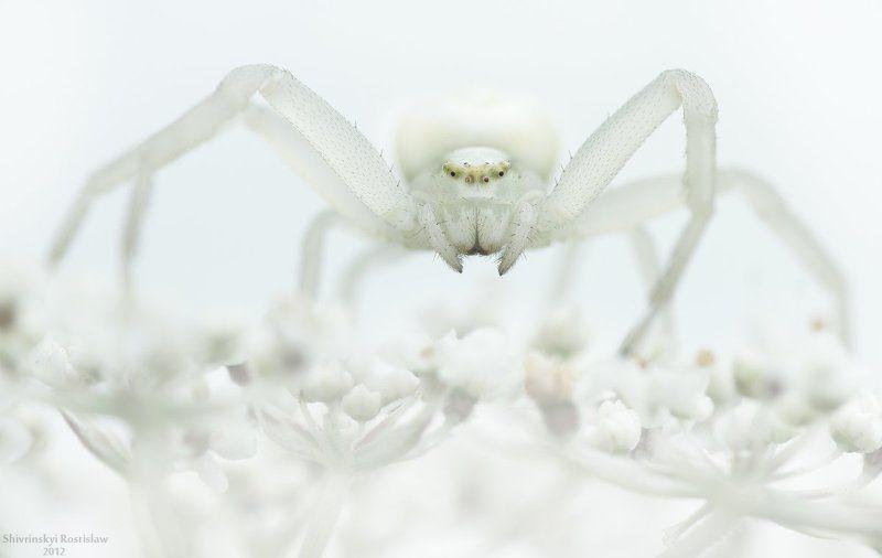 ростислав, макро, 100мм Снежная королеваphoto preview
