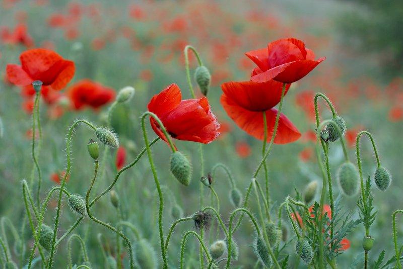 мак,маки,цветы,flowers,flower,макро,цветение,красный,red,природа,краски,nature,весна,май,ковыль, Майское маковое безумиеphoto preview