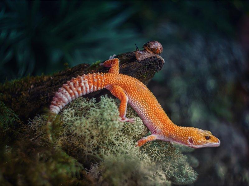 ящерица геккон эублефар мох природа кора ягель макро Эублефарphoto preview