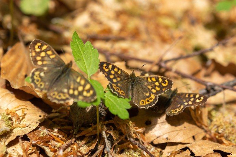 пеперудено, царство Кафяви Пеперудиphoto preview