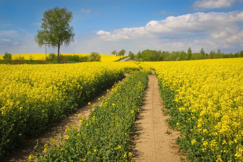 природа, поле, рапс, цветение, дорога Цветение рапсаphoto preview