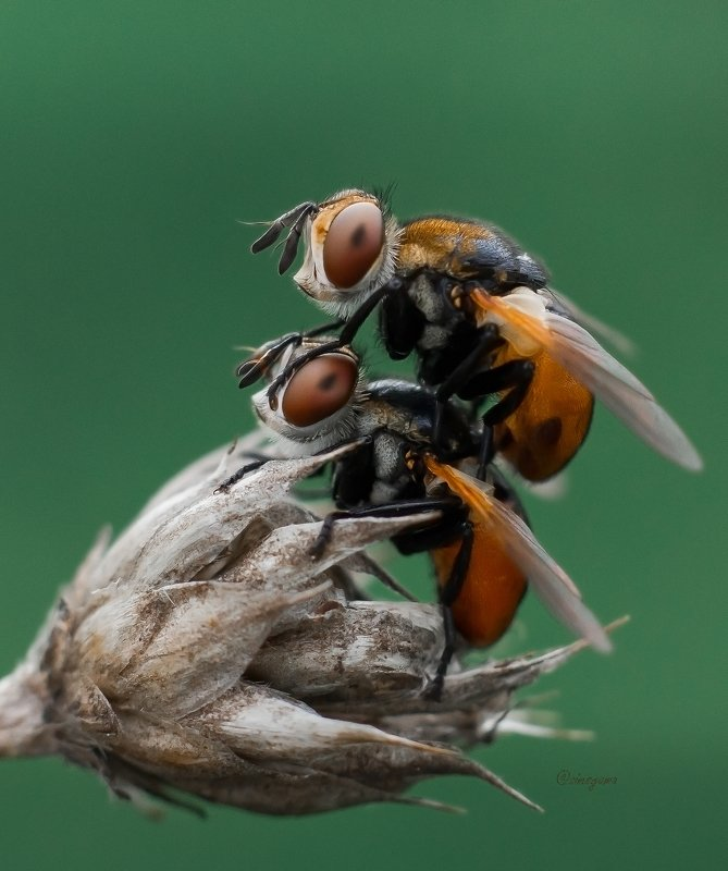 макро, природа, nature, macro, насекомые, insect, мухи, flies Гимносомы круглые, чудесные ежемухи (Тахины) photo preview