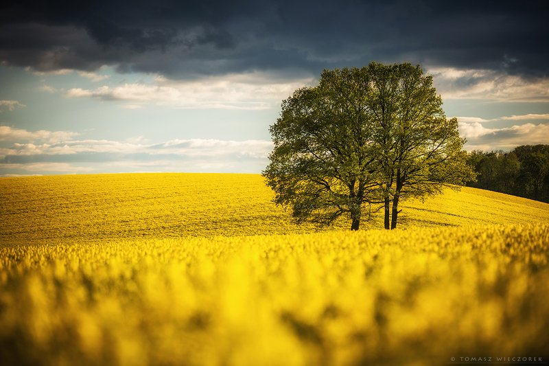 poland, polish, landscape, sunrise, sunset, colours, awesome, amazing, adventure, travel, beautiful, fields, colza, spring, tree, flowers, sea In a sea of flowersphoto preview