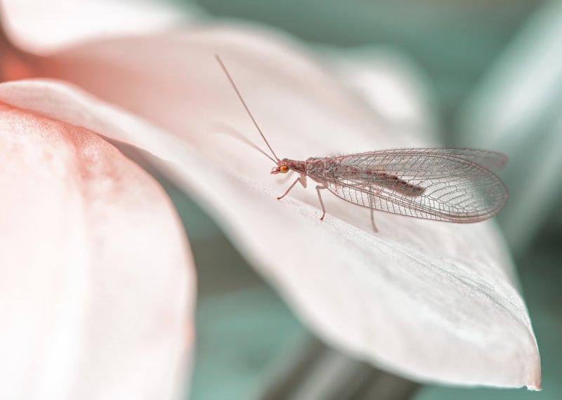 златоглазка весна насекомые макро Златоглазкаphoto preview