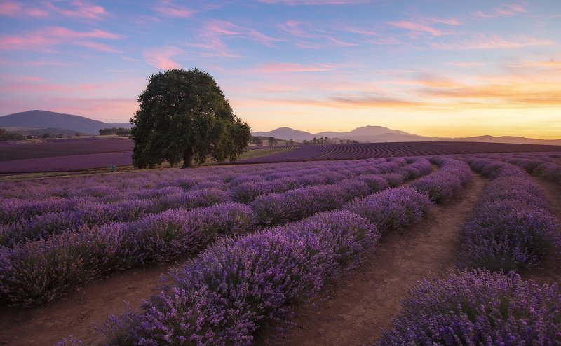 тасмания, лаванда, австралия, tasmania, lavender Вечерняя лавандаphoto preview