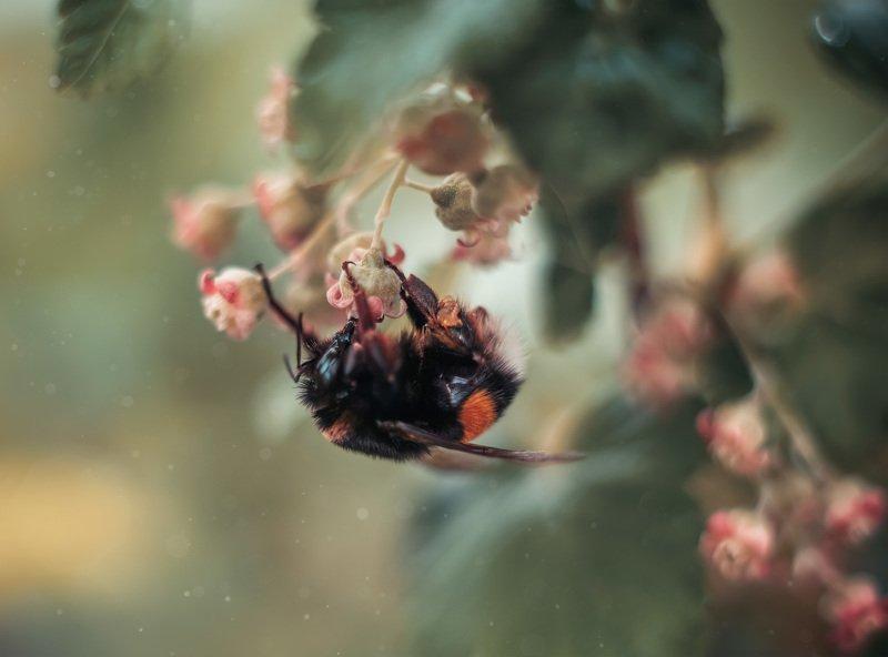 пчела весна макро смородина шмель Труженикphoto preview