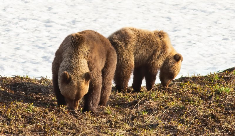 медведи,север,природа,коми,встреча,фото охота,весна,три медведя,печора,животные,хищники,bears, north, nature, komi, meeting, photo hunting, spring, three bears, pechora, animals, predators, Настоящие дикариphoto preview