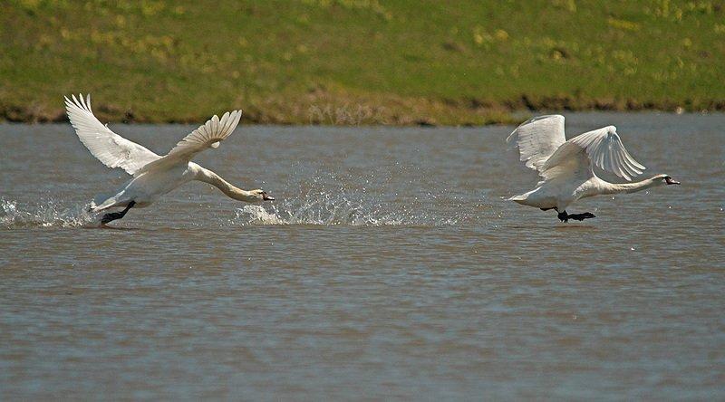 животные птицы лебеди-шипуны весна Догонялкиphoto preview