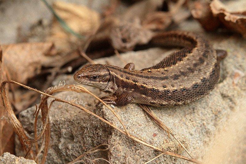животные  весна ящерица Ящеркаphoto preview