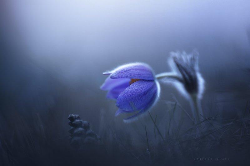 мистический цветок,цветок,zanfoar,nikon d750,czech republic,czechia,чехия,pulsatilla grandis,koniklec velkokvětý,пульсатилла (pulsatilla grandis) мистический цветокphoto preview