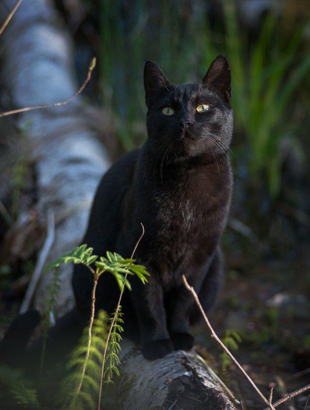 Кот, животные, черный  Котэ позировал photo preview