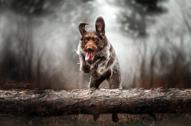 собака, анималистика, портрет, движение Дратхаарphoto preview