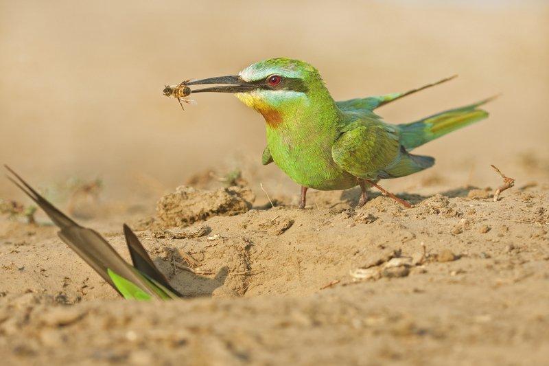Зелёная щурка у норки.photo preview