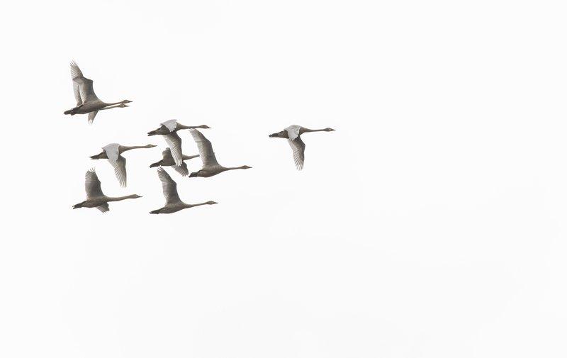 малый лебедь  прибайкалье На север!photo preview