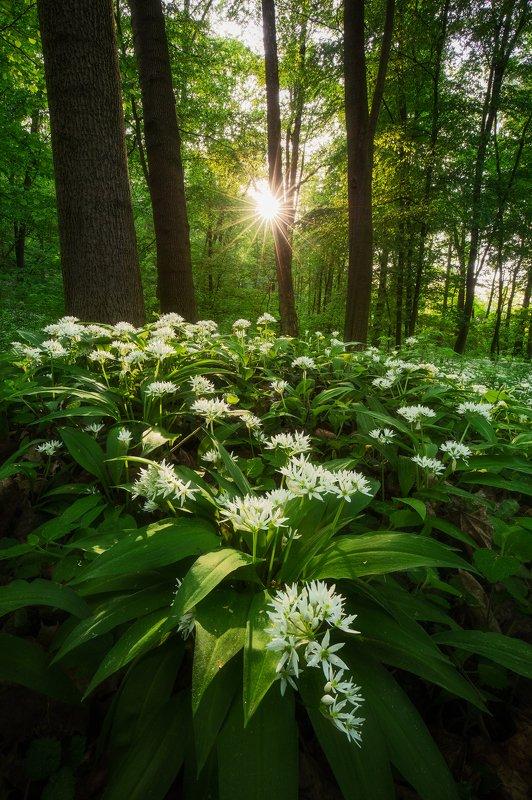 wild garlic, plants, sunstar, forest, spring, trees, czech republic, nature, landscape Power of Naturephoto preview