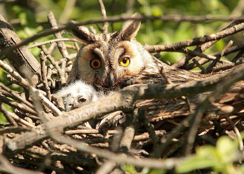 животные птицы весна ушастая сова совенок Ушастая с совенкомphoto preview