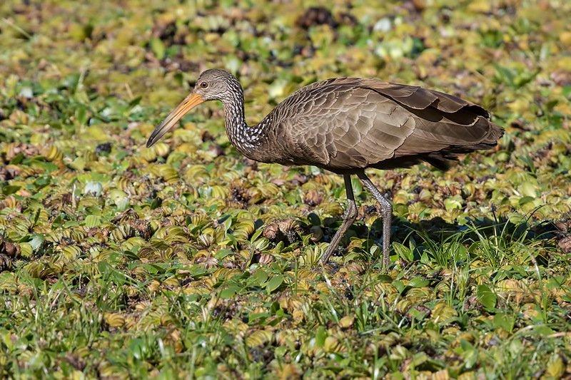 арама, птицы, уругвай Журавль из кроссвордаphoto preview