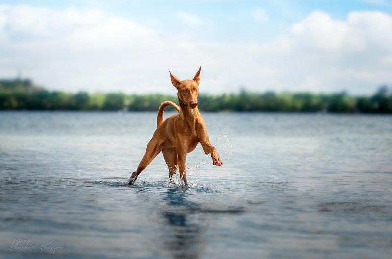 собака, анималистика, река, природа, движение Фараонова собакаphoto preview