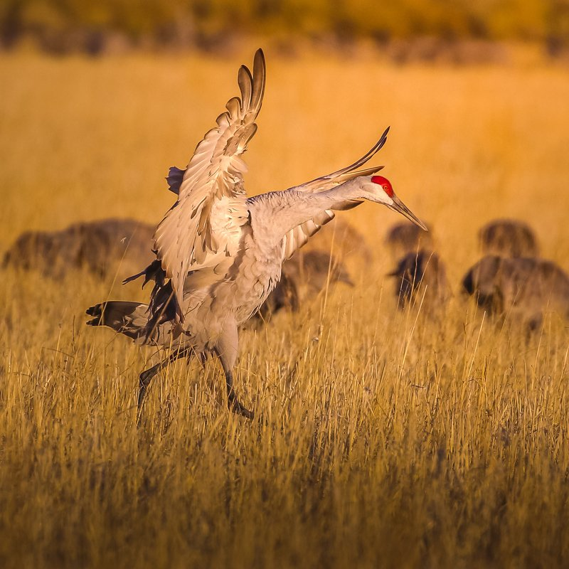 Sandhill crane has had enoughphoto preview
