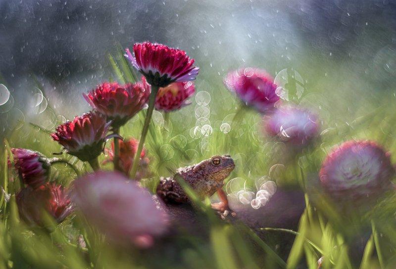 лягушка цветы боке макро красота маргаритки трава Королева маргаритокphoto preview