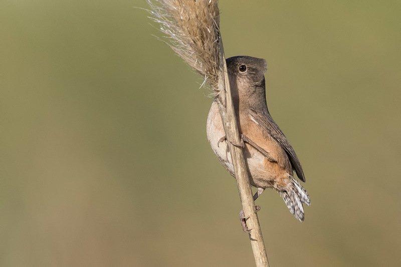 птицы, уругвай Танцы на тростникеphoto preview